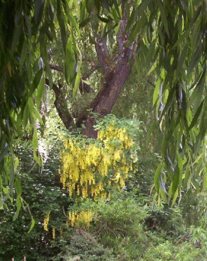 Golden chain tree growing at Claude Monet's Garden in Giverny, France.
