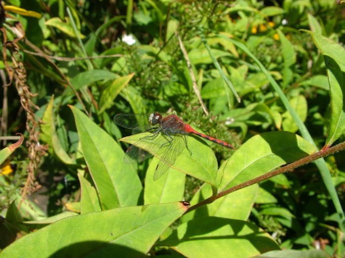 white-faced meadowhawk  dragonfly, sits on green leaf, rosetta mcclain gardens, toronto