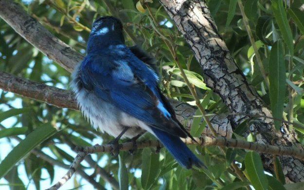 mountain bluebird in a tree, grand canyon heliport, arizona