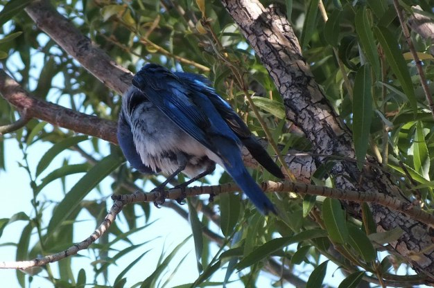 mountain bluebird sits in tree at grand canyon heliport, arizona