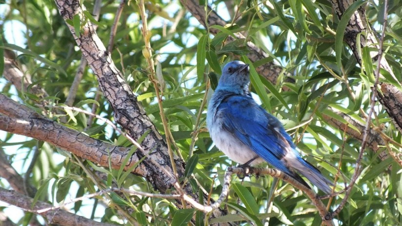 mountain bluebird sitting in a tree, grand canyon heliport, arizona