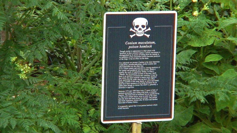 Poison hemlock sign in the Poison Garden at Blarney Castle in County Cork, Ireland.