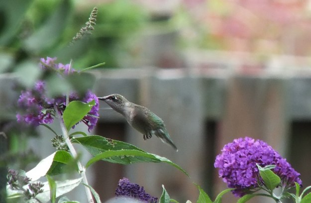 ruby-throated hummingbird above a purple butterfly bush, toronto, ontario