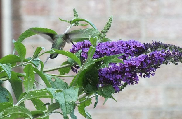 ruby-throated hummingbird at butterfly bush, toronto, ontario