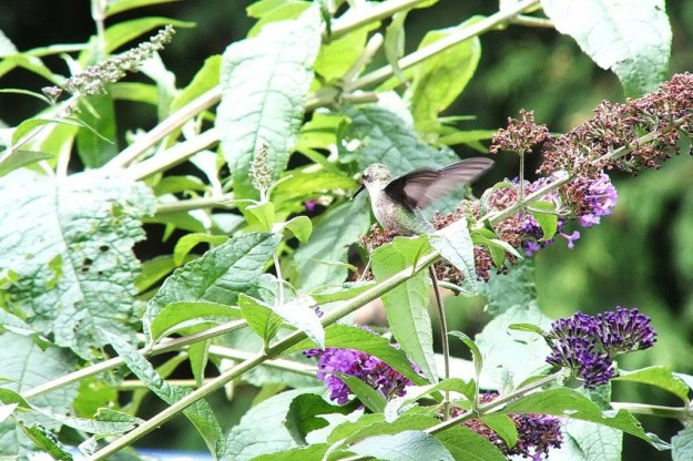 ruby-throated hummingbird sits on a butterfly bush, toronto, ontario