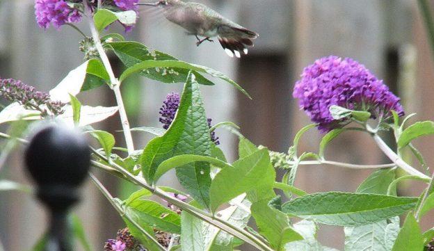 ruby-throated hummingbird tail feathers, toronto, ontario