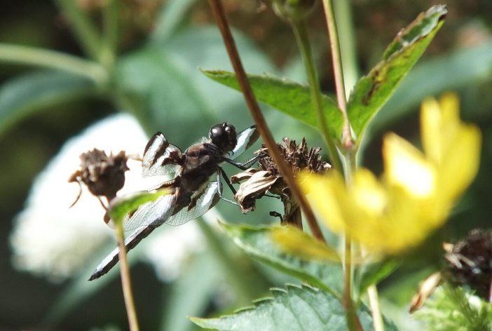 twelve-spot skimmer dragonfly, profile sitting on flower head, rosetta mcclain gardens, toronto