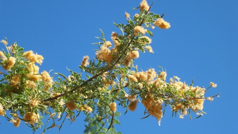 Catclaw Acacia Shrub - bright angel trail - grand canyon 20b