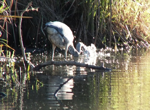 Great blue heron dives for fish-lynde shores