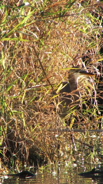Great blue heron hidden among leaves-lynde shores