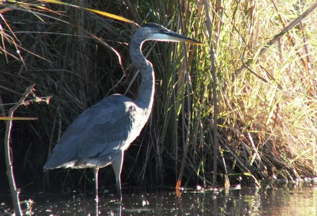 Great blue heron-stand tall-lynde shores