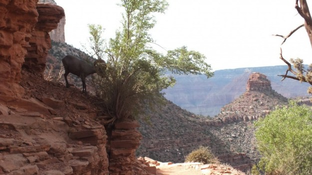 Bighorn sheep eating from a bush along Bright Angel Trail at Grand Canyon National Park, Arizona, U.S.A.