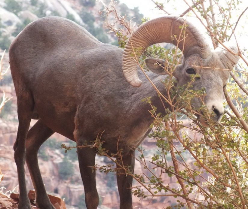 bighorn sheep grand canyon 15