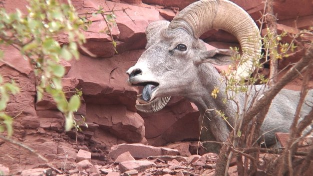 bighorn sheep grand canyon 16