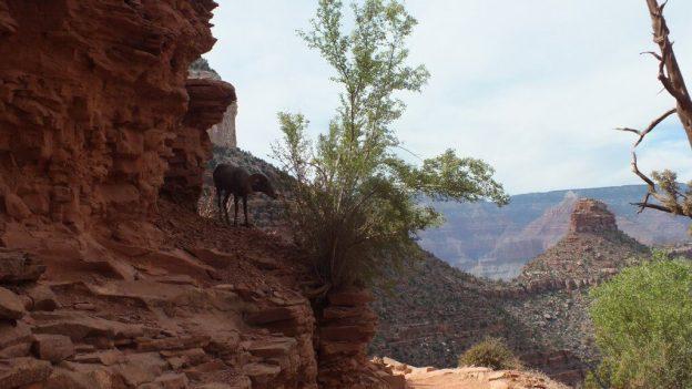 bighorn sheep grand canyon 5