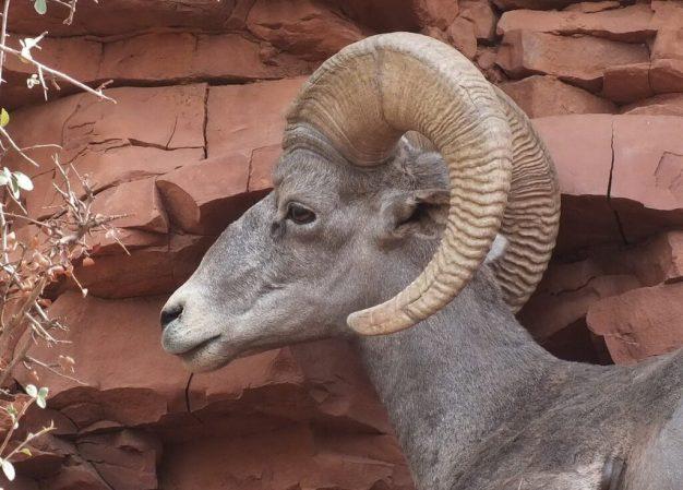 bighorn sheep grand canyon 7