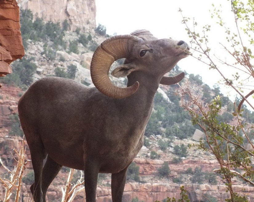 bighorn sheep grand canyon 9