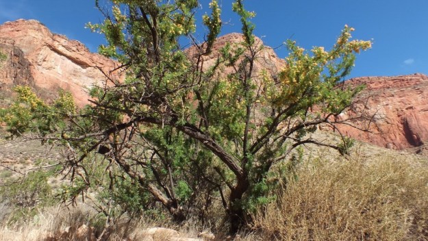catclaw acacia - bright angel trail 20a