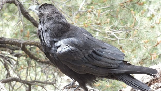 Common Raven on a tree branch at Grand Canyon National Park in Arizona, U.S.A.