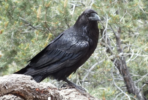 Common Raven sitting on a tree at Grand Canyon National Park in Arizona, U.S.A.