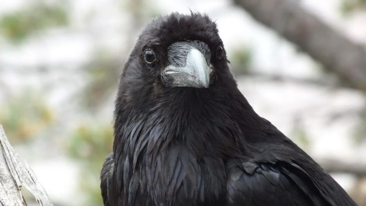 An image of a Common Raven on the south rim of the Grand Canyon, Arizona, USA