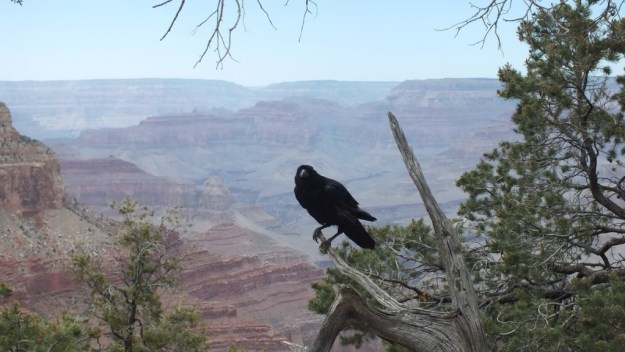 A Common Raven sitting atop a branch at Grand Canyon National Park in Arizona, U.S.A.