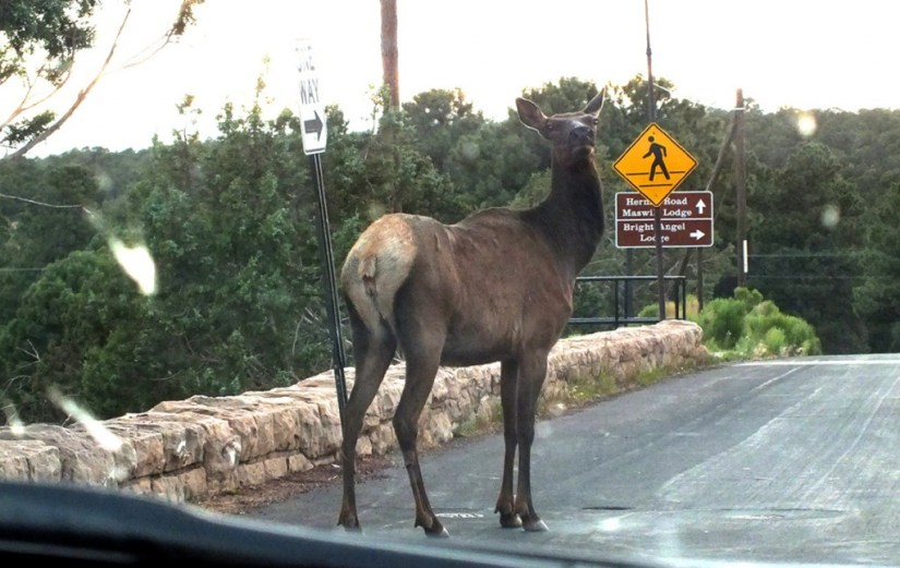 elk crosses roadway, grand canyon 7