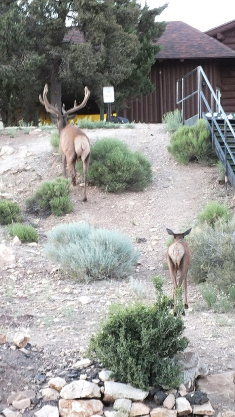 elk in grand canyon village