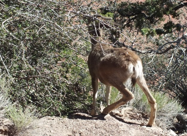 mule deer among thorn bushes, grand canyon