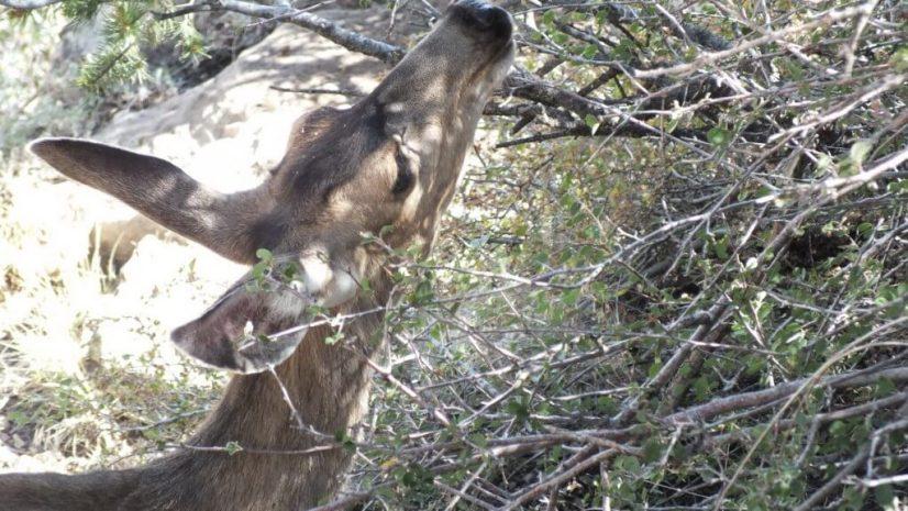 mule deer at tree, grand canyon national park