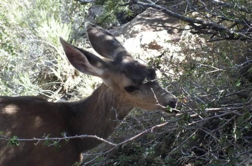 mule deer eats leaves - grand canyon