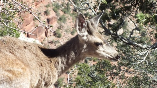 Mule deer on the south rim at Grand Canyon National Park in Arizona, USA