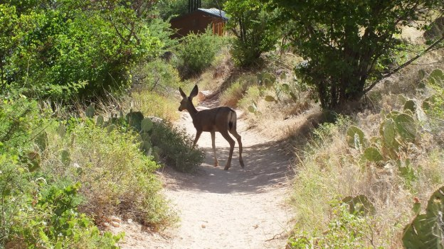 mule deer on bright angel trail 37