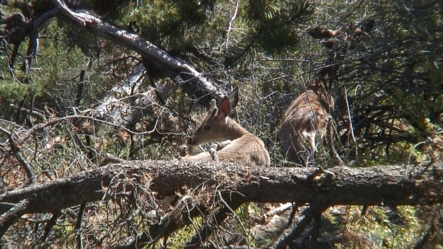 mule deer on south rim - grand canyon