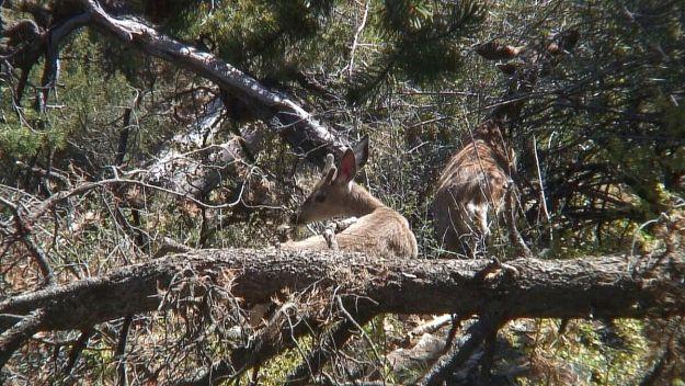 mule deer on south rim - grand canyon