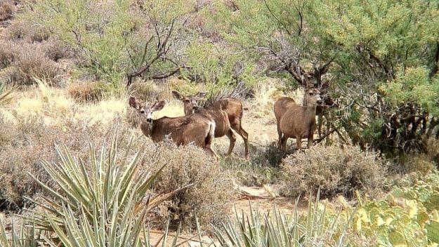 mule deer under bushes - bright angel trail