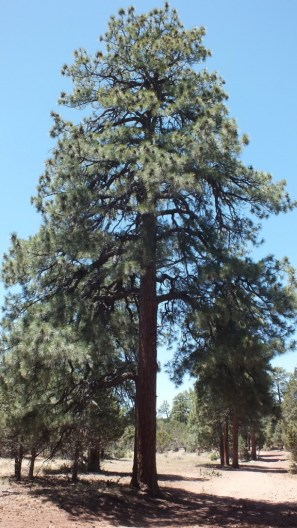 Ponderosa pine growing at Grand Canyon National Park in Arizona, USA