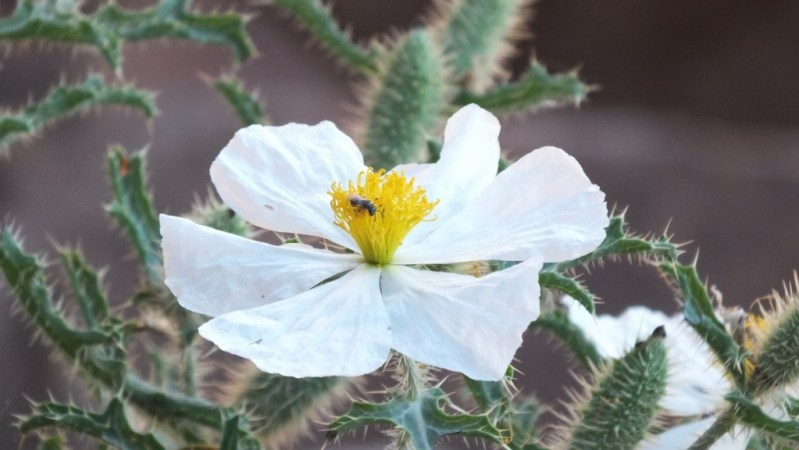 prickly poppy flowerhead bright angel trail 6d