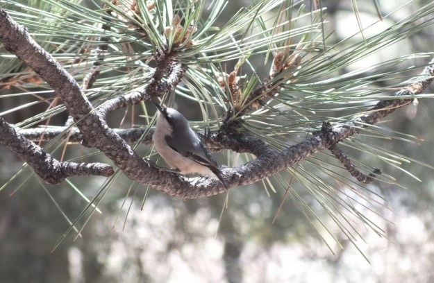 Pygmy Nuthatch in a pine tree at Grand Canyon National Park in Arizona, USA