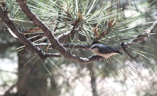 pygmy nuthatch - grand canyon 5