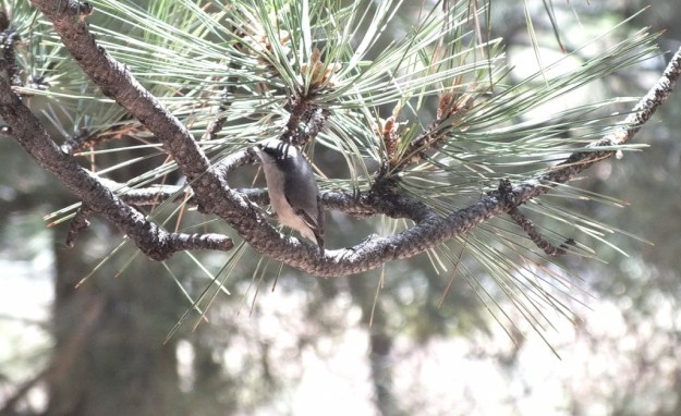 pygmy nuthatch - grand canyon 6