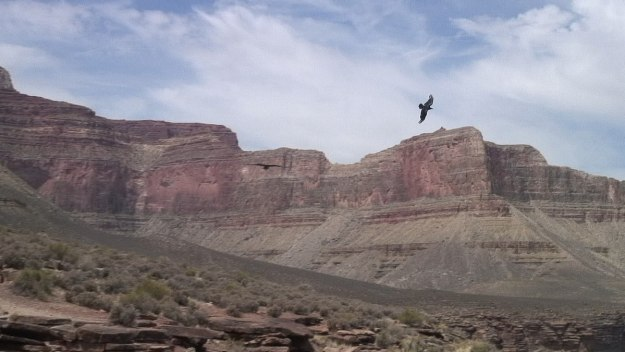 A Common Raven flying over the Grand Canyon in Arizona, U.S.A.