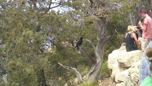 Raven checks out the people at Hermit's Rest at Grand Canyon National Park in Arizona, U.S.A.