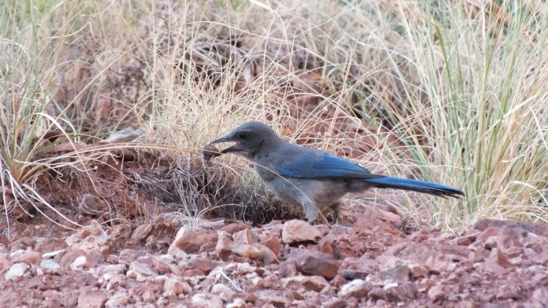 western scrub jay bright angel trail 14
