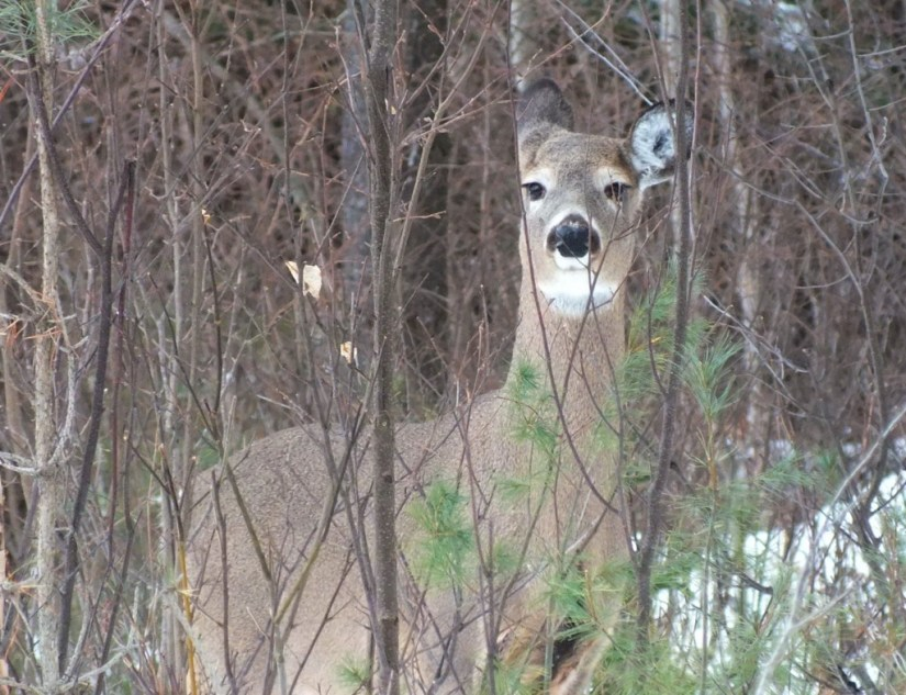 white-tailed deer looks to camera - oxtongue lake