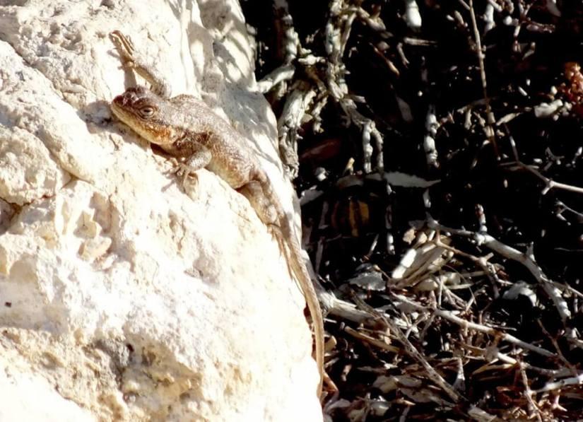 Northern Sagebrush Lizard north rim grand canyon 10