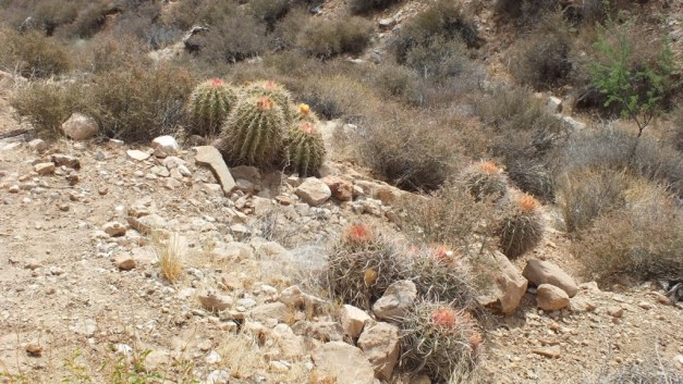 cactus on plateau point trail 4