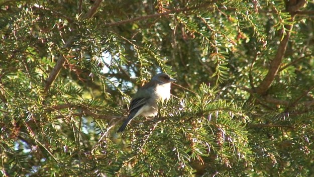 glendalough bird