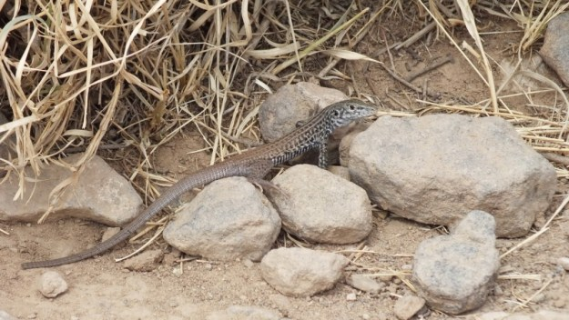 northern whiptail lizard - grand canyon 1