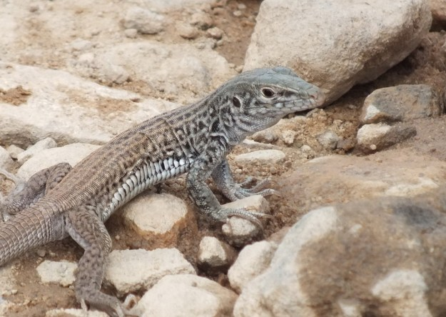 northern whiptail lizard - grand canyon 6